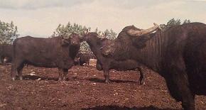 черные-буйволицыопт